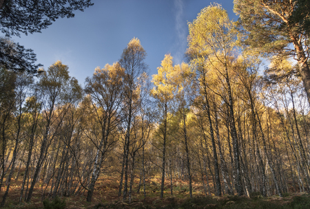 Autumn Birch in Caledonian Forest at Aviemore, Scotland.