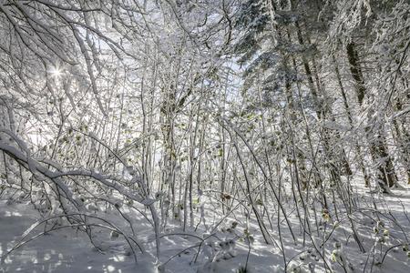 copse: Snow covered Sycamore Copse in Scotland.