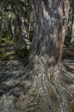 strathspey: Scots pine at Abernethy forest in the Cairngorm National Park of Scotland.