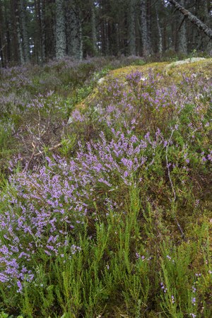 strathspey: Abernethy Forest nature in the Cairngorms National Park of Scotland. Stock Photo