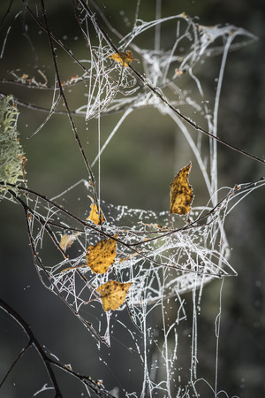 strathspey: Leaves and Dew on Web at Abernethy Forest in Scotland.