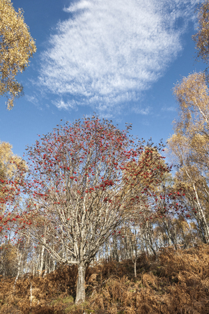 sorbus: Mountain Ash ( Sorbus Aucuparia) at the Muir of Dinnet in Aberdeenshire, Scotland.
