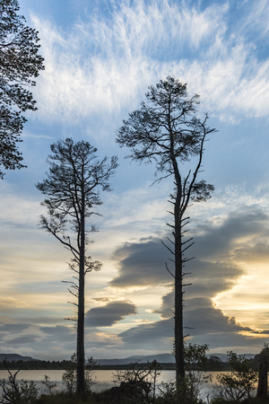 scots pine: Loch Mallachie Trees in the Cairngorms National Park of Scotland. Stock Photo