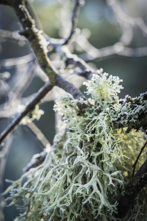 Oakmoss lichen at Abernethy Forest in Scotland.