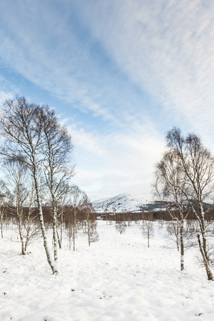 garten: Birch Trees in snow in the Cairngorms National Park of Scotland. Stock Photo