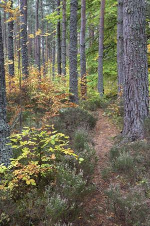 Torbreck forest in Autumn in the Highlands of Scotland.