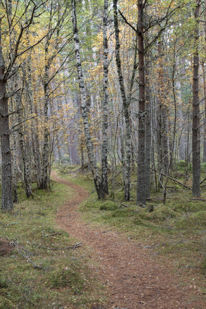 Forest track through Birch in the Cairngorms National Park of Scotland.