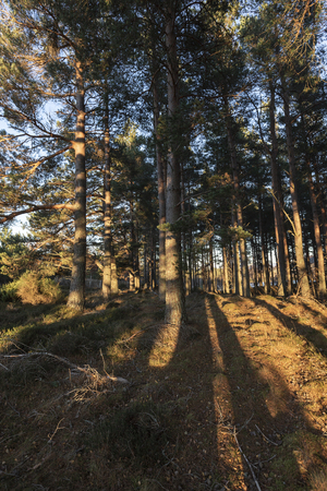 Caledonian forest in evening light in the Cairngorms National Park of Scotland.