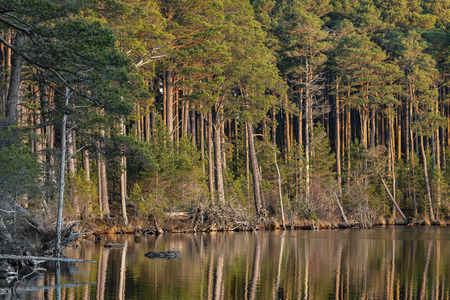 Tall Scots Pine at Loch Mallachie in the Cairngorms National Park of Scotland. Stock Photo