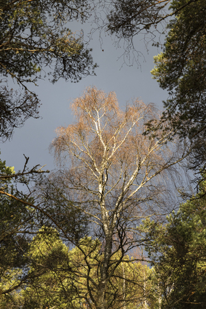 Silver Birch at Abernethy forest in the Cairngorms National Park of Scotland. Banco de Imagens