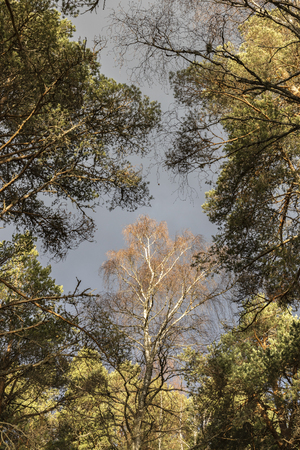Silver Birch at Abernethy forest in the Cairngorms National Park of Scotland. Stock Photo