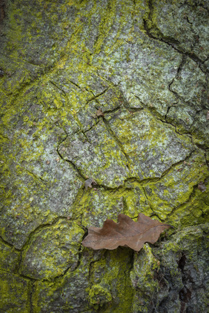 Oak leaf and Oak bark in the Highlands of Scotland.