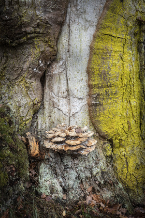 Lichen and Fungi on ancient Oak in the Highlands of Scotland. Stock Photo