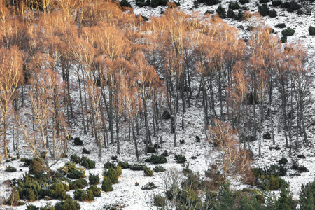Birch Trees in Winter in the Cairngorms National Park of Scotland.