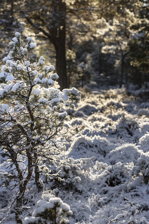 Snow clad Scots Pine at Abernethy forest in the Highlands of Scotland.