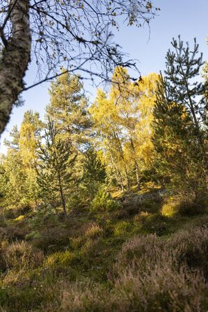 Birch at Abernethy Nature Reserve in the Cairngorms National Park. Фото со стока