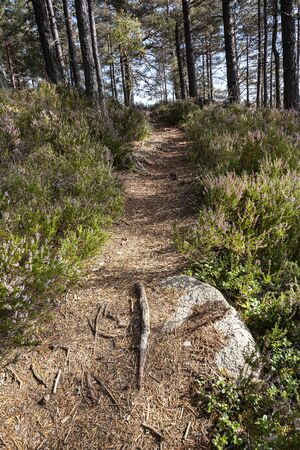 Heather at Abernethy Forest in the Cairngorms National Park of Scotland.