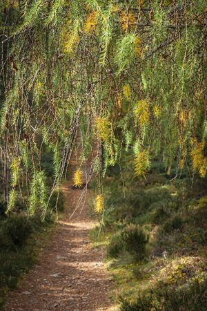 Larch fronds at Abernethy nature reserve in the Cairngorms National Park of Scotland. Imagens