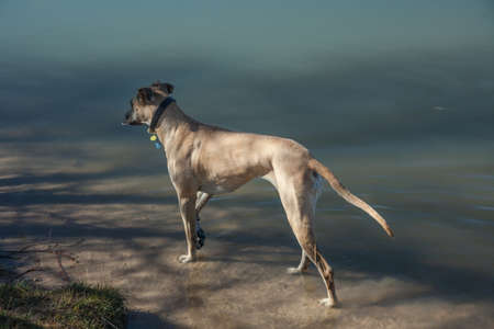 chatfield: Fawn Great Dane standing on the edge of Colorado lake late in day with shadows from trees Stock Photo