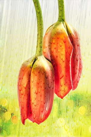drooping: Two drooping orange tulips in rain with bokeh backdrop