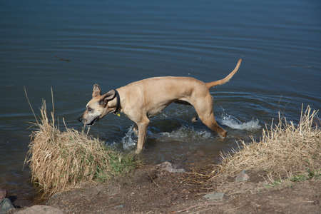 chatfield: Fawn Great Dane running in Colorado lake, late afternoon Stock Photo