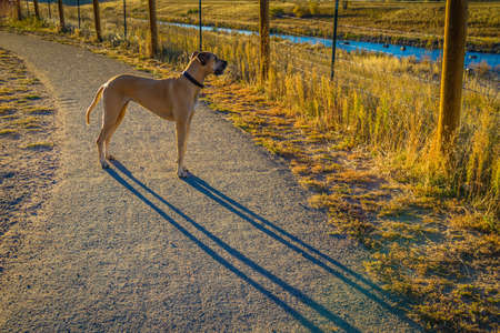 Dogge in den späten Nachmittag Sonnenuntergang am Hundepark in Colorado Standard-Bild - 39039066