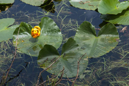lily pad: Lily Pad Lake in Silverthorne, Colorado