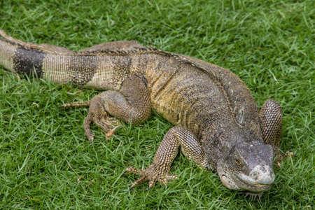 third eye: Ecuadorian Iguana