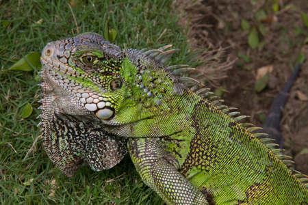 iguana: Ecuadorian Iguana