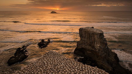 Gannet Colony at Sunset, Muriwai Beach, West Auckland, New Zealand 版權商用圖片