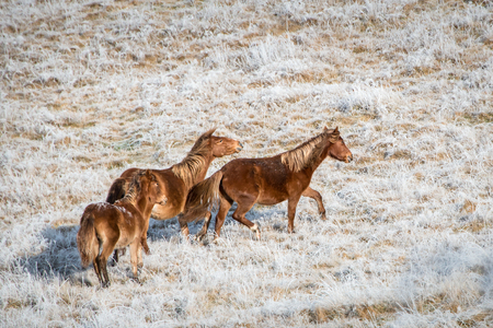 Three wild Kaimanawa horses running in the winter mountain ranges in North Island, New Zealand Stock Photo
