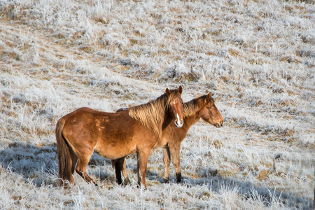 Two beautiful wild Kaimanawa horses in winter mountain ranges, North Island, New Zealand