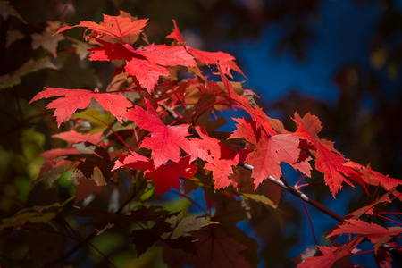 Vibrant fall marple leaves in Mont Tremblant, Quebec, Canada