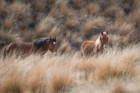Wild Kaimanawa Horses running amongst tussocks Stock Photo