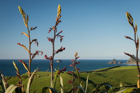 Native New Zealand Flax or harakeke in flower growing along the coast in New Plymouth