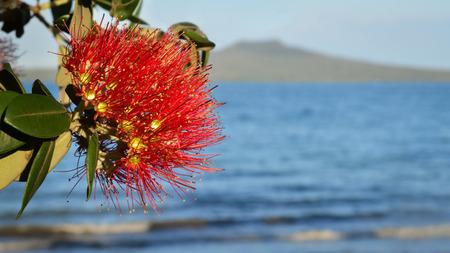 Pohutukawa flower at Takapuna Beach with Rangitoto Island in the distance, Auckland New Zealand Stok Fotoğraf
