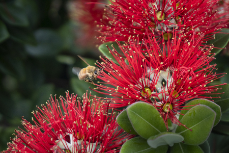 A bee is busy collecting nectar from the New Zealand Christmas tree or Pohutukawa which is in full bloom around Auckland in December Stock Photo