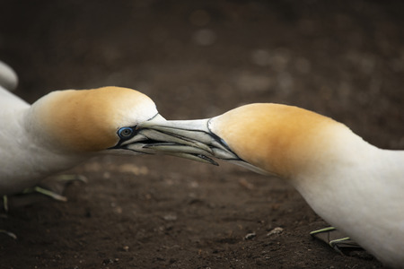 Two Muriwai gannets fighting with beaks Imagens