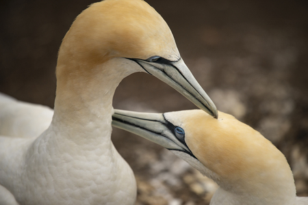 Gannets grooming each other at Muriwai Gannet Colony