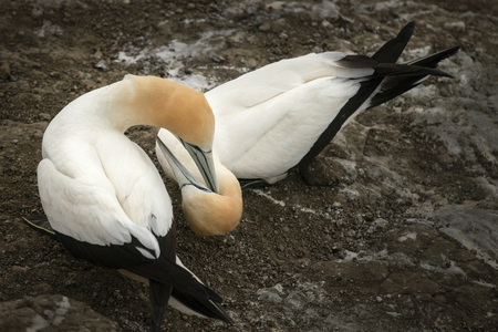 Gannets grooming each other at Muriwai gannet colony in west Auckland Stock Photo