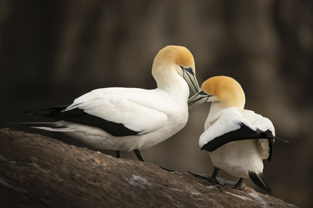 Muriwai gannets grooming each other at Muriwai gannet colony