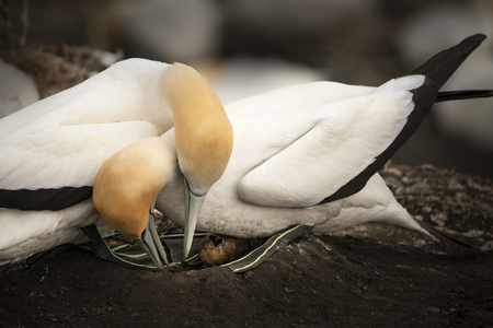 Muriwai gannets hatching egg Stock Photo