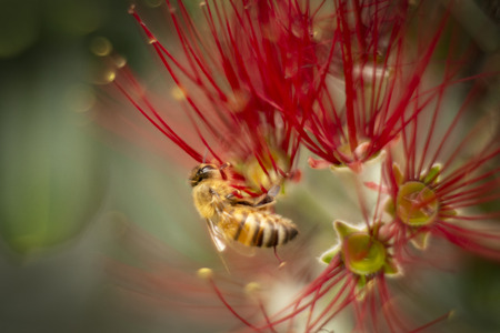 The Pohutukawa tree which is also called the New Zealand Christmas tree is in full bloom around Auckland and bees are loving these red flowers Stock Photo