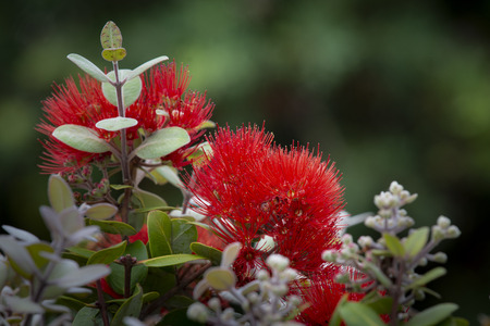The Pohutukawa tree which is also called the New Zealand Christmas tree is in full bloom around Auckland in summer
