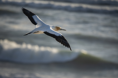 Gannet flying at Muriwai sunset