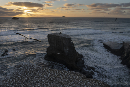 Muriwai beach at sunset with gannets flying in the strong wind Stock Photo