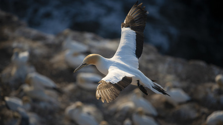 Gannet takes off at Muriwai Gannet Colony, West Auckland