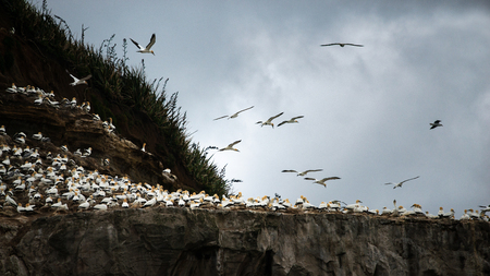 Gannets flying at the Muriwai Gannet Colony in West Auckland Stock Photo