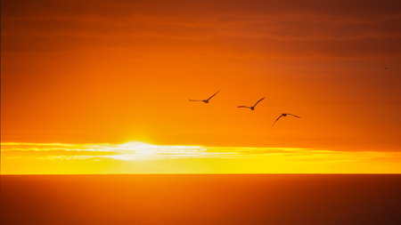 A group of Gannets flying at the Sunset Stock Photo