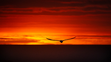 A Silhouette Gannet flying at the Muriwai sunset